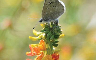 Historic Release of Palos Verdes Blue Butterfly on Palos Verdes Nature Preserve